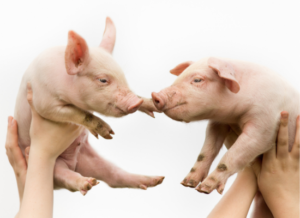 Would we eat these piglets?